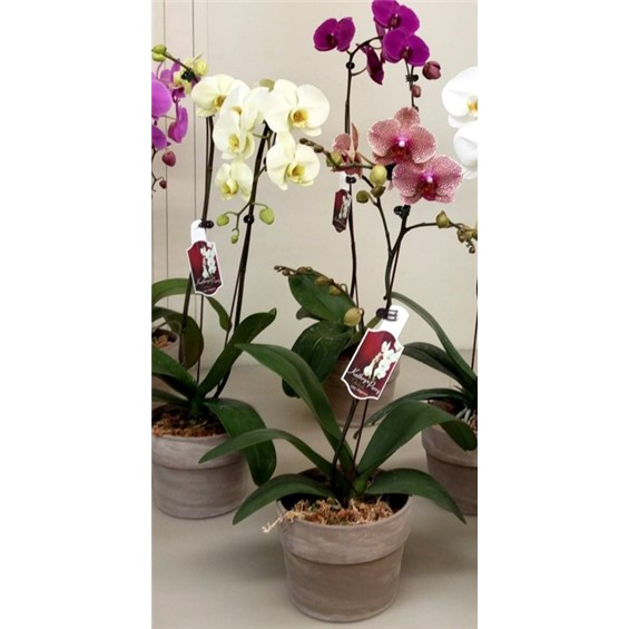 6 inch orchid everyday by flowerama