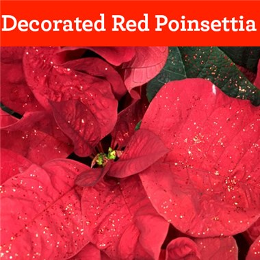 Decorated_Red_Poinsettia